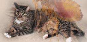 Apa yang perlu dilakukan jika kucing mempunyai kutu