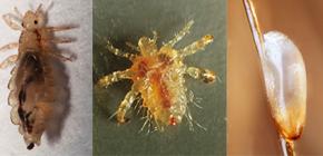Apa yang kelihatan seperti kutu: biasa dengan ciri-ciri penampilan dan biologi parasit