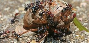 Apa jenis semut yang dimakan