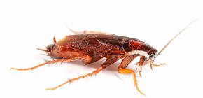Lebih baik untuk racun kecoa di apartmen?
