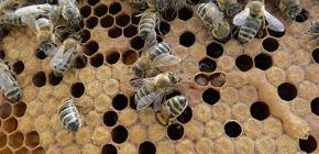 Penggunaan lebah rama berwarna untuk rawatan penyakit