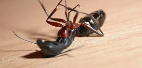 Memilih ubat semut rumah di apartmen