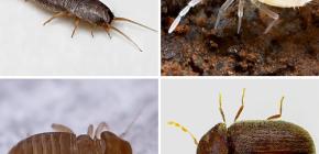Apa serangga kecil boleh didapati di apartmen