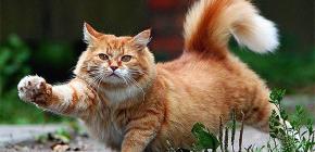 Bagaimana dengan cepat dan selamat menghilangkan kutu dari kucing