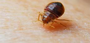 Foto gigitan bedbug