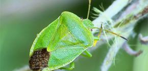 Siapa bug bau dan mengapa mereka bau?