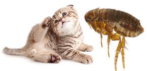 Cat Fleas: Bagaimana Mereka Melihat dan Berbahaya kepada Manusia
