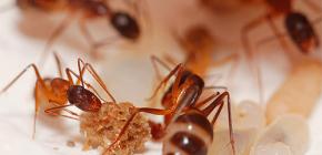 Kemusnahan semut di apartmen