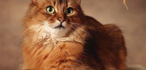 Bagaimana untuk menghilangkan kutu dari kucing: kami melayan haiwan kesayangan anda sendiri