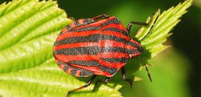 Rupa dan ciri-ciri kehidupan bug Itali
