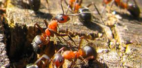 Bagaimana semut bersedia untuk musim sejuk