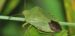 Apa yang kelihatan seperti bug hijau dan patut diberkati