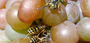 Bagaimana untuk melindungi penuaian anggur dari tawon dan melindunginya sepanjang tempoh masak