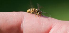 Wasp racun: adakah ia baik untuk tubuh manusia dan bagaimana ia berfungsi