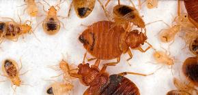Kaedah yang terbukti untuk kemusnahan bedbugs, yang menunjukkan kecekapan tinggi