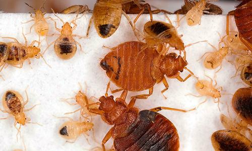 Kaedah yang membantu menghancurkan bug sepenuhnya di apartmen ...