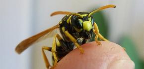Akibat gigitan wasp: apa yang boleh menjadi serangan berbahaya serangga ini?