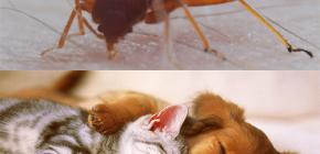 Bolehkah bedbugs menggigit haiwan domestik (kucing, anjing, ayam)?