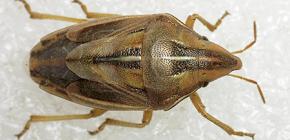 Foto dan penerangan mengenai pelbagai jenis bedbugs