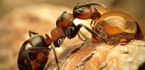 Foto pelbagai spesies semut dan ciri-ciri menarik kehidupan mereka