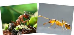 Mengenai hutan merah dan semut tempatan, serta perbezaannya