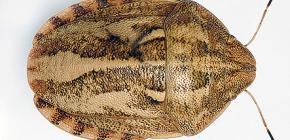 Penyu berbahaya bug (Eurygaster integriseps)