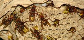 Sarang Hornets (foto): tentang peranti mereka dan bagaimana untuk membuangnya dengan betul dan selamat