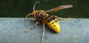 Tinjauan yang paling berkesan terhadap wasps dan tanduk