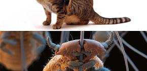 Adakah kucing mempunyai kutu dan bagaimana untuk menghapuskan parasit kecil dari rambut haiwan kesayangan