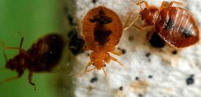 Apa yang sepatutnya menjadi kematian bedbugs di apartmen: semakan cara yang boleh dipercayai dan tip berguna