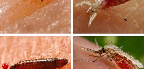 Serangga apa yang menghisap darah boleh ditemui di atas katil atau sofa