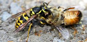Kaedah berurusan dengan tawon dalam apiari: bagaimana untuk menyelamatkan lebah dari serangan