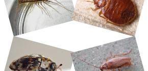 Serangga jenis apa yang boleh didapati di perumahan manusia: parasit dan perosak