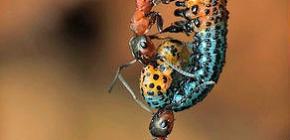 Berapa berat badan semut dan berapa berat badan boleh mengangkatnya