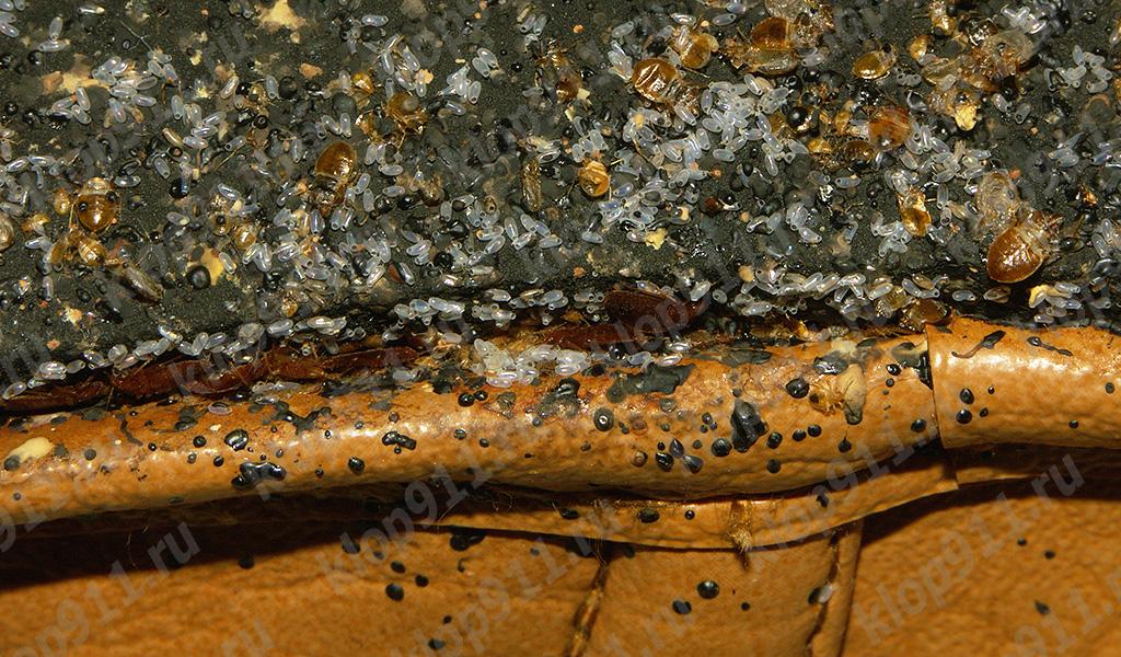 Telur bed bugs di sofa