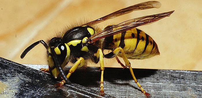 Hornets dan tawon